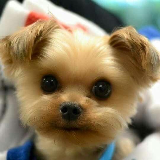 Mini Teddy Bear Dogs For Sale