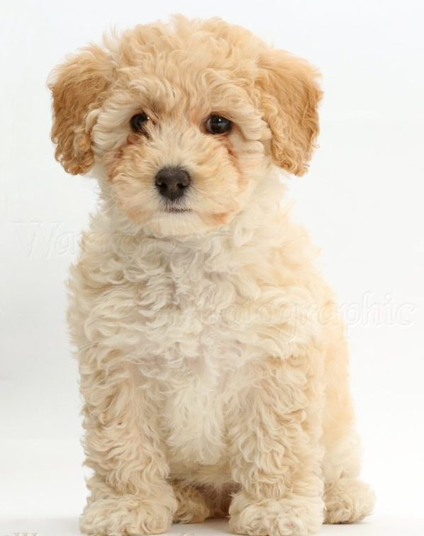 6 weeks old Poochon Puppy