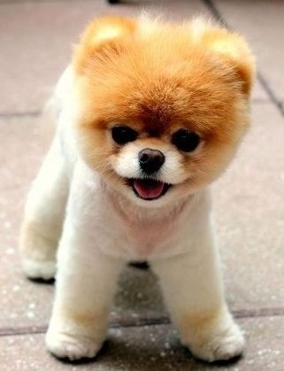 breeds teddy bear puppies amp dogs