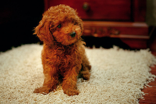 Silky teddy bear puppy