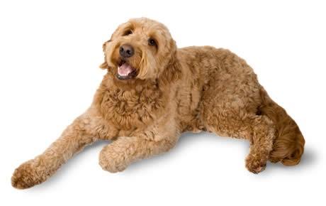 Goldendoodle Dog is among the Designer Breeds