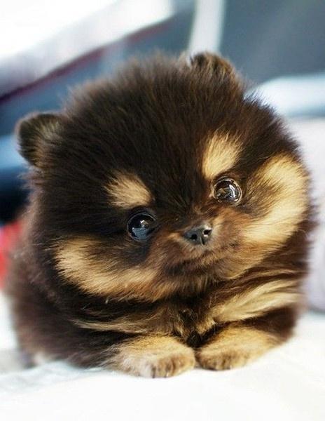 My Top 10 Teacup Pups Photos Teddy Bear Puppies Amp Dogs