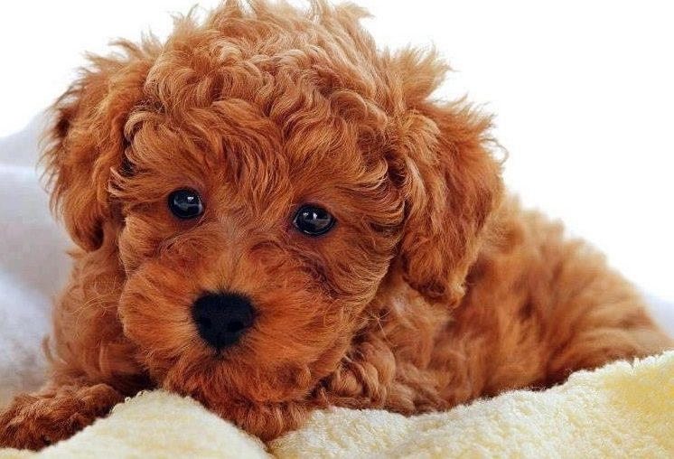 Before buying a teddy bear pup