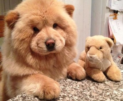 Teddy Bear Puppies & Dogs